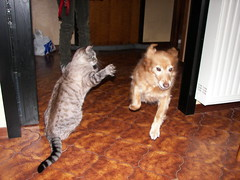 E' guerra!!!!!!!!!!-Ovvero la vendetta di Geo-Cat attack (silgeo) Tags: dog cute cane cat kitten war attack guerra geo gatto willy vendetta enemies catanddog catattack nemici instantfave caneegatto bestofcats kittystormtroopers geoewilly fccwinner