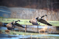 cleared for take off (Finiky) Tags: winter bird birds geese bravo flight finiky birdsinflight canadageese d3 naturesfinest afewofmyfavoritethings winter2008 huntleymeadowswaterfowl