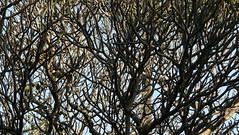 Plumeria (dinesh_valke) Tags: tree frangipane evergreen frangipani nicaragua apocynaceae champa melia suche amapola kalachuchi nahuatl deadmansfingers frangipanier westindianjasmine graveyardtree plumeriarubra chafa champe araliya templetree flordemayo jepun dogbanefamily jasminmanga seur pomelia alel plumiera plumeriaacutifolia kembangkamboja pagodatree sacuanjoche tipanier golenchi golachin khageleihaoangouba kathgolop nelasampangi cacalloxochitl oleanderfamily flordelacruz lilawadee alhelcimarrn boiscouleuvre chelilai dokchampa flordesantoantnio flordecebo flordeleche flowerofthecross hongjidanhua jasmimdecaiena jasmindopar kangnaixin kembojakuning marysflower pansalmal pumeli pwohmaria suwur