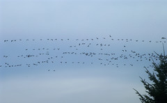 who's leading (simone62) Tags: nature birds animal flying
