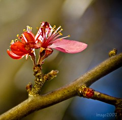 Togetherness (imago2007 (BUSY)) Tags: fab flower tree nature canon togetherness virginia flora branch heart rebelxt crabapple excellence pinoykodakero imago2007 pinoymacro