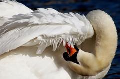 Preening (gillybooze) Tags: bird swan nikonflickraward slbpreening thewonderfulworldofbirds