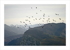 The BirdS (fertraban) Tags: asturias aves pjaros montaas redes asturies bandada sobrescobio ltytr1 chovas