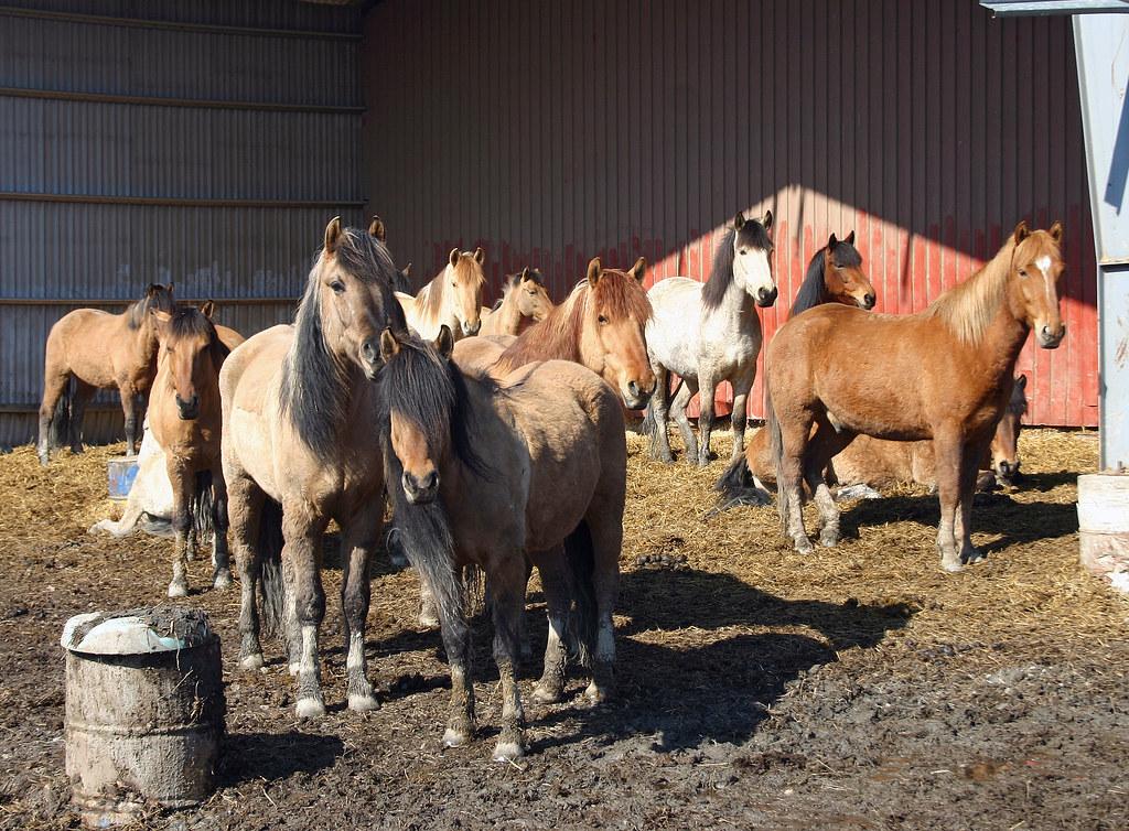 Bashkir pony's