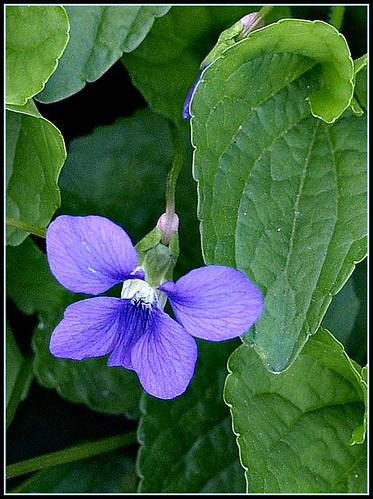 Downy Blue Violet