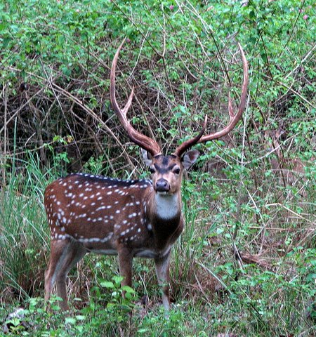 chital stag with antlers bandipur 260408