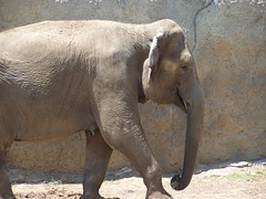 Asiatic Elephant (Elephas maximus) (Adventurer Dustin Holmes) Tags: elephant zoo elephants springfieldmissouri zoos asianelephant elephasmaximus springfieldmo asiaticelephant dickersonparkzoo asianelephants asiaticelephants springfieldzoo