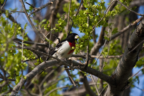 Rose-breasted Grosbeak (1 of 2)
