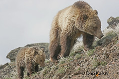 Grizzly Bear with Cub (dhkaiser) Tags: bear dan cub yellowstone kaiser np grizzly