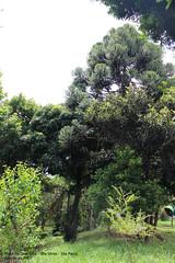 Araucária na Praça Dr. José Oria (Geração Y) Tags: araucária araucaria angustifolia praça josé oria vila sônia sonia sao são paulo