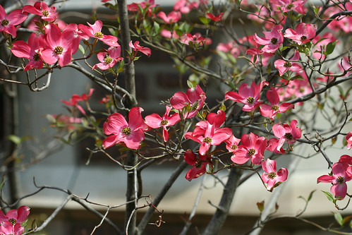 Possbily Pink Dogwood