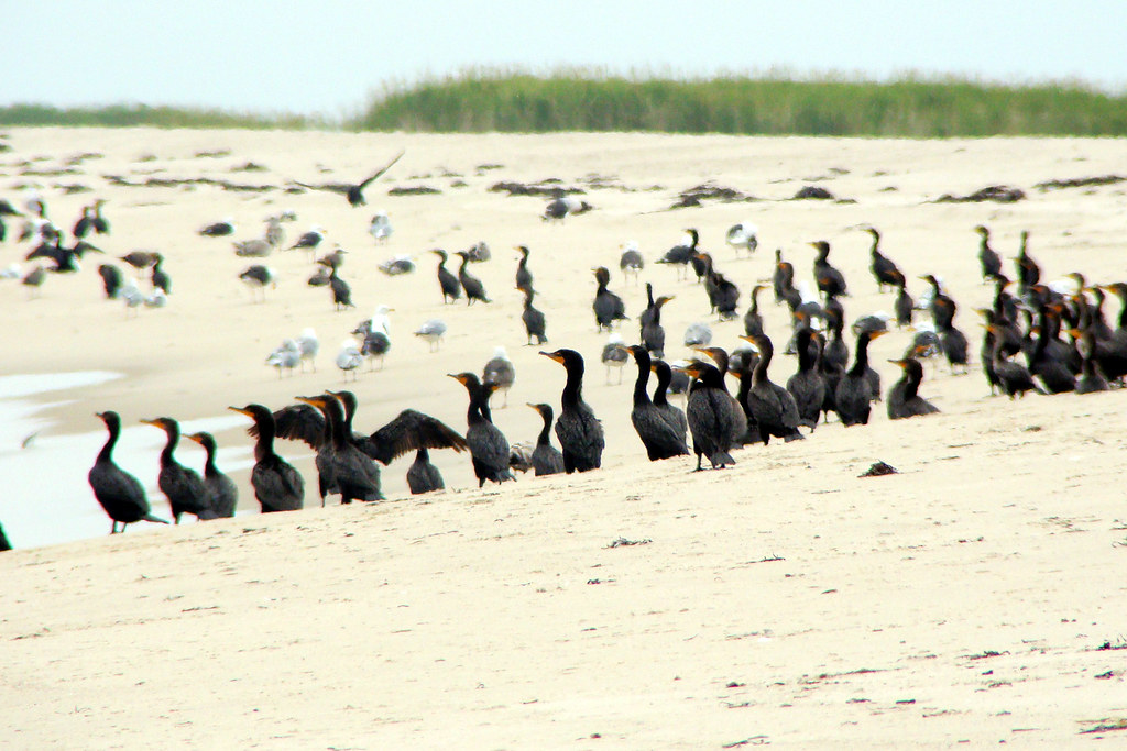 army of cormorants TW