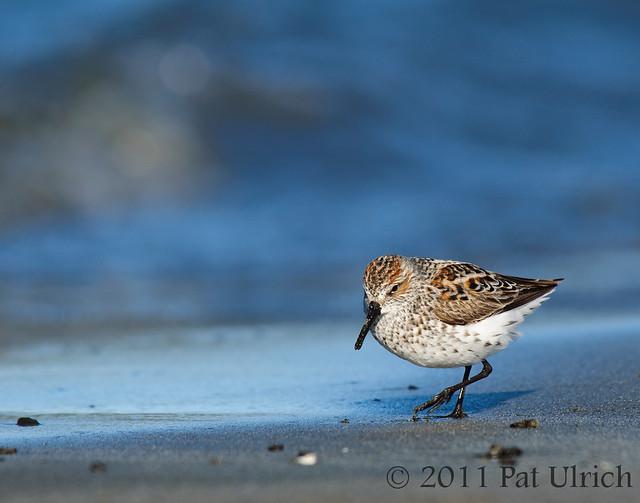 Strolling western sandpiper - Pat Ulrich Wildlife Photography