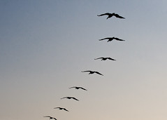 "Fripp - Many Pelicans in formation silhouette • <a style=""font-size:0.8em;"" href=""http://www.flickr.com/photos/30765416@N06/5711561711/"" target=""_blank"">View on Flickr</a>"