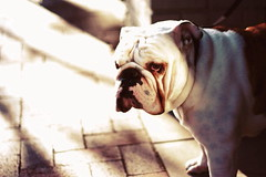 (In my entirety) Tags: street light dog sun canon 50mm golden kiss bulldog ii f18 xsi x2 450d