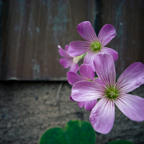 Violet Flowerhood in Ichikawa