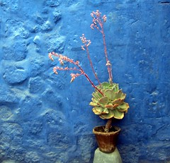 Peru - Stesso colore, altro mondo! (danieleb80) Tags: flowers blue peru southamerica wall blu arequipa blueribbonwinner inblu instantfave 35faves 25faves aplusphoto goldenphotographer somethingblueinmylife colourartaward excapture canoniani santacatilina