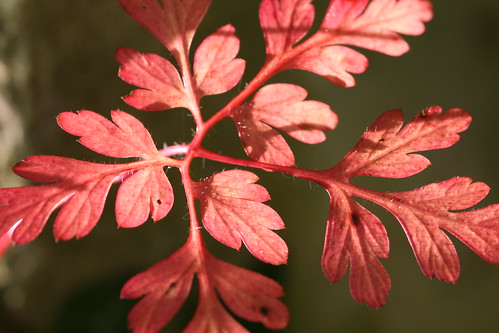 Red Leaf - Unknown