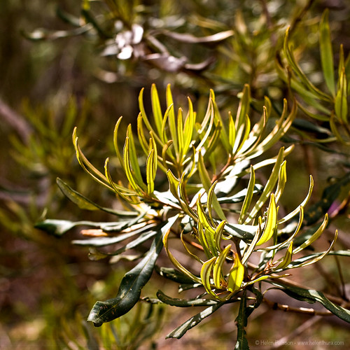 Light on Integrifolia