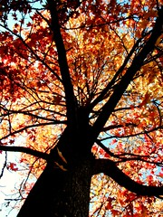 (katherine elaine) Tags: blue autumn red orange plants tree fall leaves yellow outside outdoors fire maple bluesky treetrunk mapletree mapleleaves treeonfire