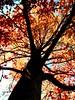 (katherine elaine) Tags: blue autumn red orange plants tree fall leaves yellow outside outdoors fire maple bluesky treetrunk mapletree mapleleaves treeonfire