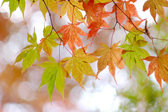 The Mixture of Autumn Colors (yoshiko314) Tags: park autumn red green nature colorful bokeh 100v10f momiji kobe  delicate turned boke arima   supershot japanesemapletree 105mmf25ai  mywinners  diamondclassphotographer flickrdiamond