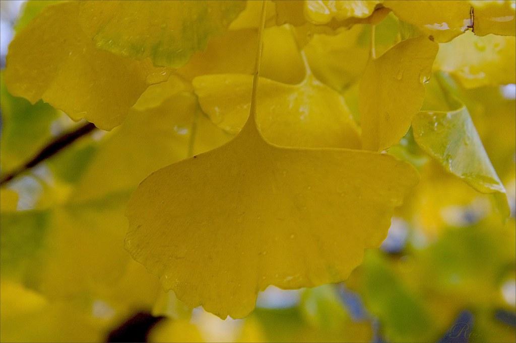 rainy ginkgo ©2007 RosebudPenfold