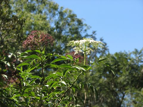 elderberry plant ..flutes are made from the wiood in the US