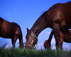 Horses Eating Grass (Neil Kesterson) Tags: horse 120 6x6 tlr bluegrass lexington kentucky yashica yashicaa ourkentucky