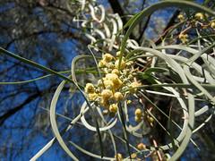 Flowering Tree (8363)