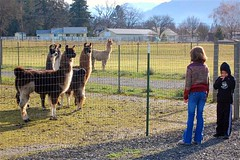 kids with the llamas