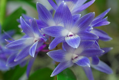 Dendrobium Mingle's Sapphire (Eric Hunt.) Tags: blue orchid flower orchidaceae striped dendrobiumminglessapphire