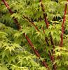 Lush (Kazooze) Tags: trees tree nature japanesemaple honeybunch srj