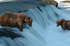 Brooks Camp Bears (Dave Schreier) Tags: camp alaska waterfall bears grizzly kodiak brooks mywinners abigfave favedtaggedoutstandingshot photofaceoffwinner