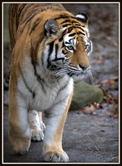 Dasha, female Siberian (amur) tiger (hadowdancer) Tags: nikon tiger dasha soe siberiantiger amurtiger d80 specanimal animalkingdomelite nikkor70200mmf28vr