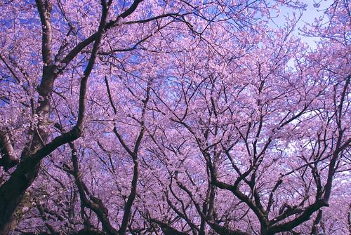 権現桜堤の桜並木