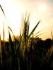 Life (*Tom [luckytom] ) Tags: life verde tom interestingness natura erba mostinteresting pace bella amore luce aria vita sera spettacolo grano bello ctm spiga elemento favcol luckytom piacevolezza