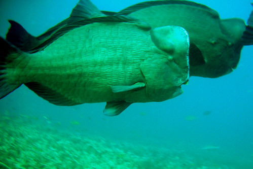 Green Humphead Parrotfishes at Similan Islands