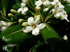 Pitosforo (°Cactus*Pixie° - War is something I DESPISE -) Tags: flowers flower common pittosporum pitosforo pittosporumtobira