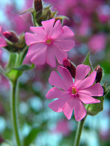Red Campion - Silene dioica (Foto op Flickr van Jooliree)