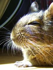 Falling Asleep (Vegan Butterfly) Tags: sun cute animals fur rodent sleep degu adopted companion gaara