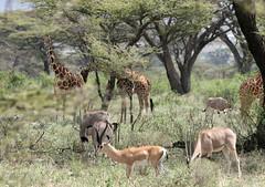 Samburu Scene (brad.schram) Tags: kenya mammals samburu reticulatedgiraffe grantsgazelle beisaoryx august2007 acaciaforest