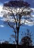 Tree... just off of Highway 9 (vincenzooli) Tags: kodachrome laos hochiminhtrail sepon lpsky