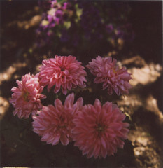 (juli) Tags: morning flowers light garden polaroid 600 frontyard slr680 dahlias toodark 680se pinkdahlias