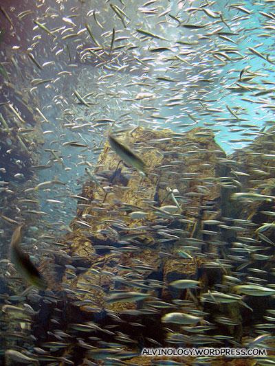 A school of sardine