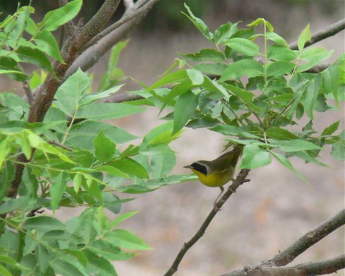 Common Yellowthroat - 2