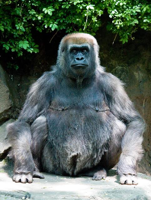 Congo Gorilla Forest, Bronx Zoo