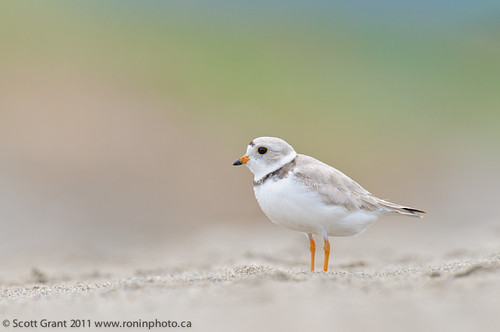 Stephenville Crossing Nesting Piping Plover-5 by Scott Grant