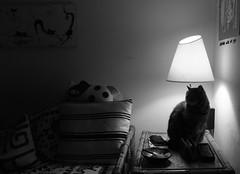 abat-jour (Big Lembowski & Mary) Tags: white black roma la casa big italia mary e toni gatto bianco nero sotto lampada abatjour bribri antonello lembo briciola morese birobiro lembowski colledeipini