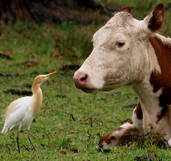 Cattle Egret (maureen_g) Tags: bird nature searchthebest wildlife australia nsw centralcoast egret e510 naturesfinest supershot amazingtalent featheryfriday zd50200mm mywinners anawesomeshot avianexcellence wyongmardi